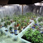 Marijuana Growing Facts