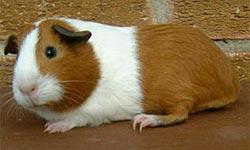 guinea pig or marijuana :)